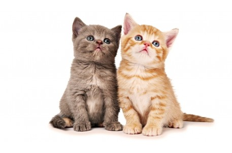 Пушистый комочек в доме.  Уход и содержание котят.