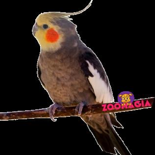 Попугай Корелла или Нимфа.